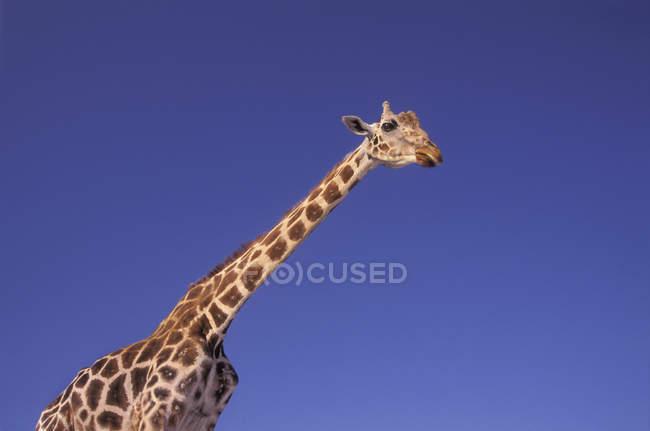 Масаї жирафа, Серенгеті, Африка — стокове фото