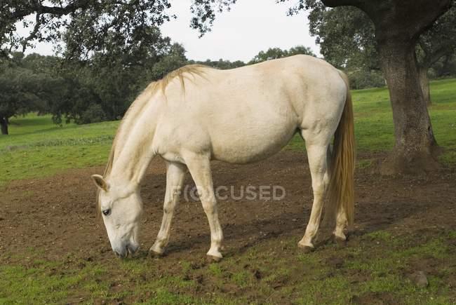 Cavalo pastando no campo — Fotografia de Stock