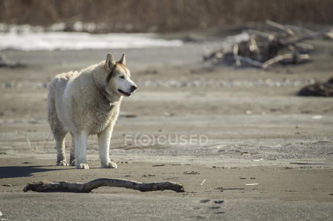 Gros husky malamute pauses — Photo de stock