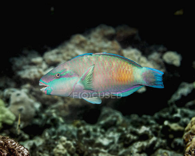 Exotic Parrotfish swimming in ocean near coral — Stock Photo