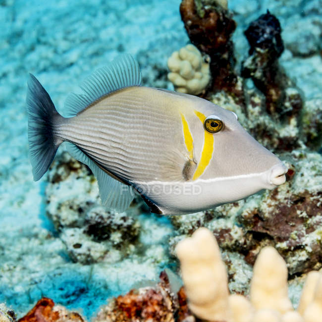 Exotic triggerfish swimming in ocean near coral — Stock Photo