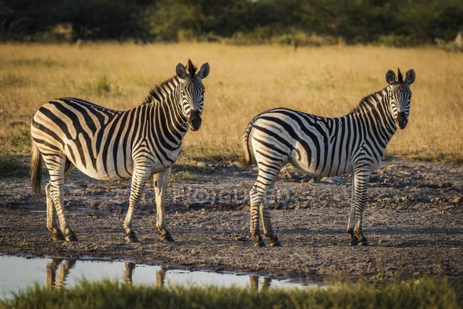 Два zebra Берчелл — стоковое фото