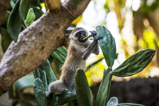 Samango monkey standing on tree — Stock Photo