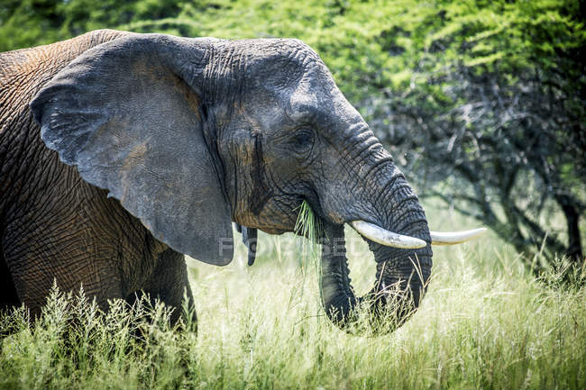 Elephant standing in tall grass — Stock Photo