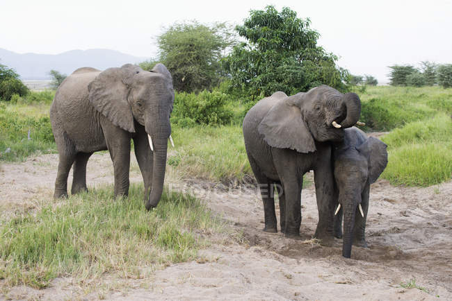 Слони отримання води — стокове фото