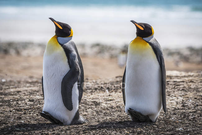 Zwei Königspinguine — Stockfoto
