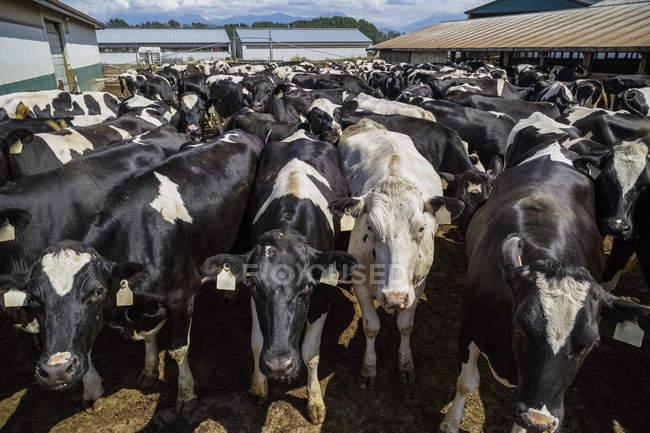 Vaches holstein Dairy farm — Photo de stock