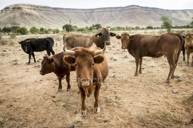 Rinder im Feld; Namibia — Stockfoto