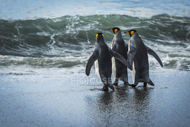 Три королевских пингвина — стоковое фото