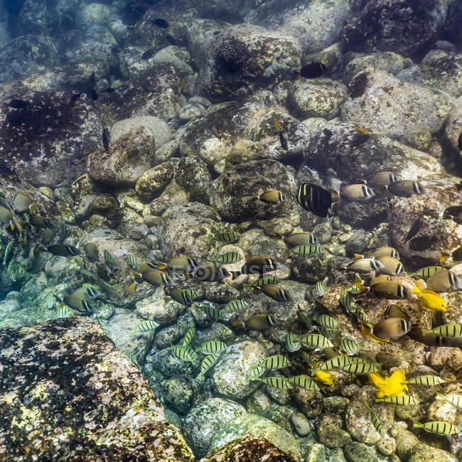 Mix der Doktorfisch Arten Fütterung — Stockfoto