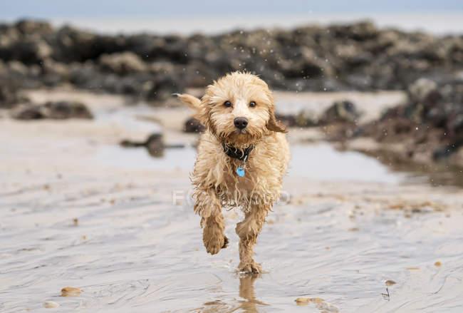 Wet cockapoo runs — Stock Photo