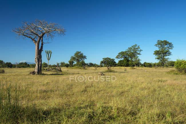 Бородавочник пасовища поруч з дерева — стокове фото