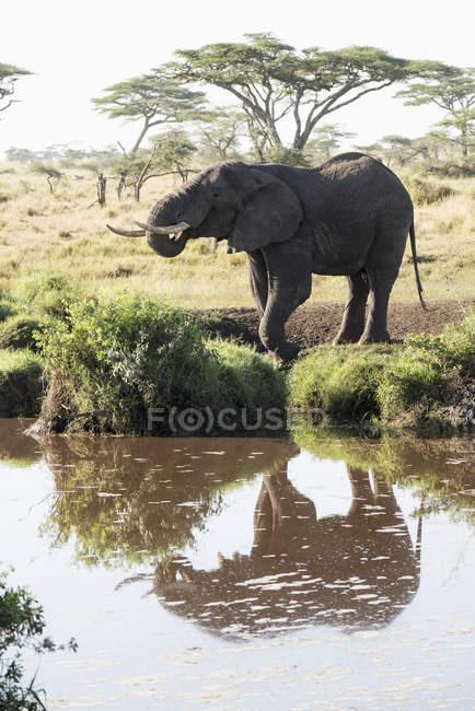 Слона, що знайшло своє відображення у воді — стокове фото