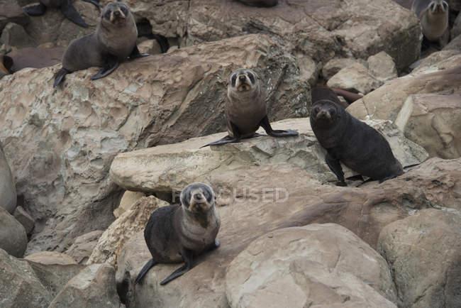 Four fur seals — Stock Photo