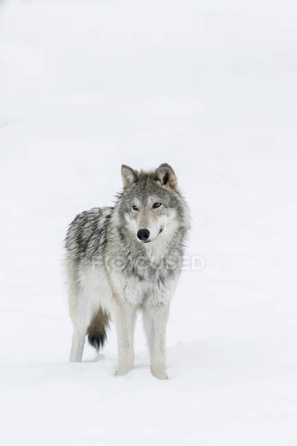 Постоянный женский волк на снегу — стоковое фото