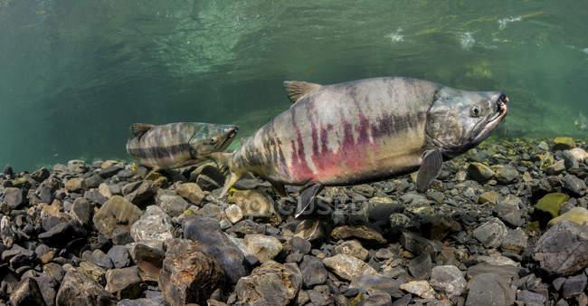 Saumon sous l'eau dans un flux d'Alaska — Photo de stock
