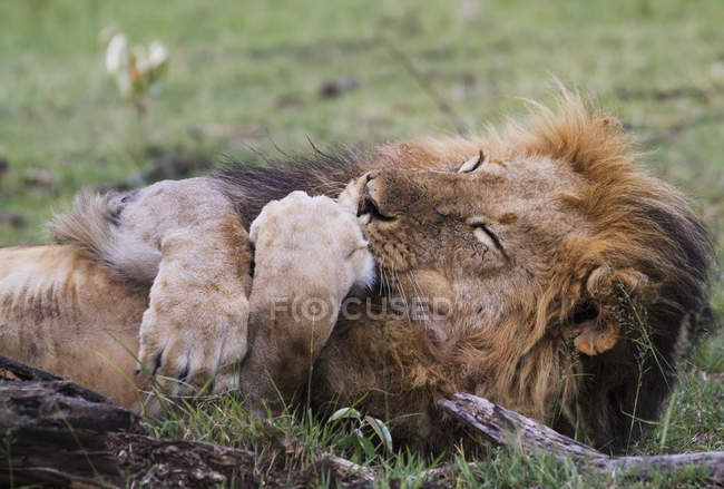 Африканский лев лижет лапу — стоковое фото