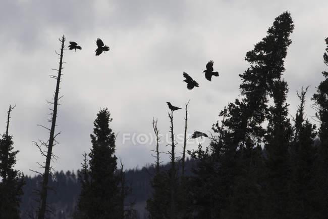 Silhouette des corbeaux volant — Photo de stock