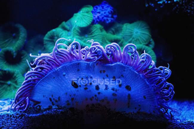 Blu E Verde Corallo Subacqueo Sfondo Scuro Fauna Selvatica