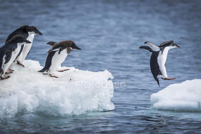 Pingüinos Adelie buceando - foto de stock