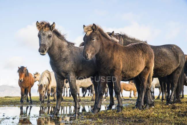 Ісландський коней, стоячи біля води — стокове фото