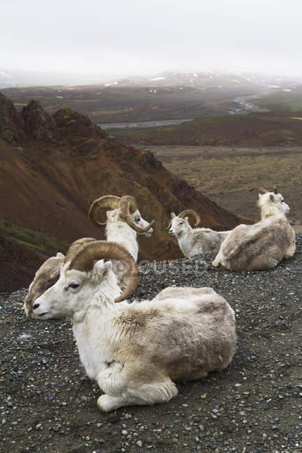 Гурт Dall овець — стокове фото
