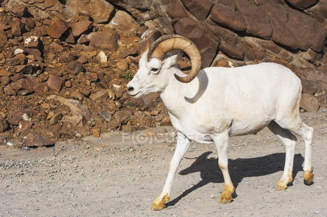 Ram Dall moutons — Photo de stock