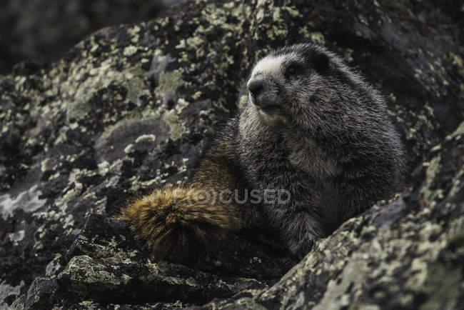 Седой сурок, сидя на скалах — стоковое фото