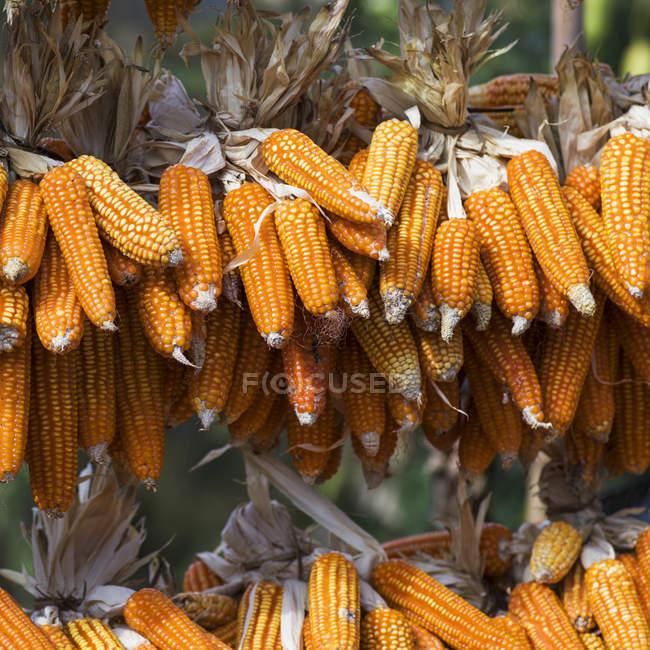 Ears of corn drying on rack — Stock Photo