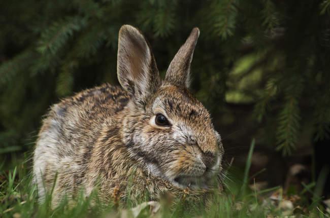 Американские кролик, сидя на траве — стоковое фото