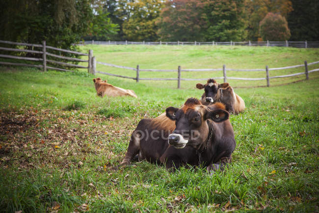 Cows laying in farm field — Stock Photo