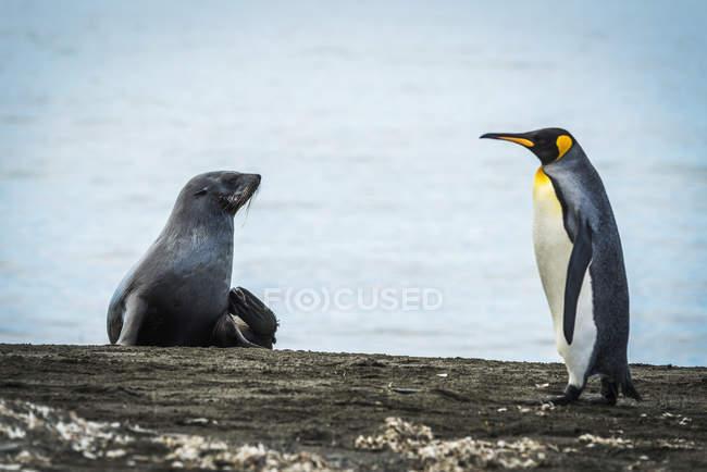 Roi pingouin marche sur la plage — Photo de stock
