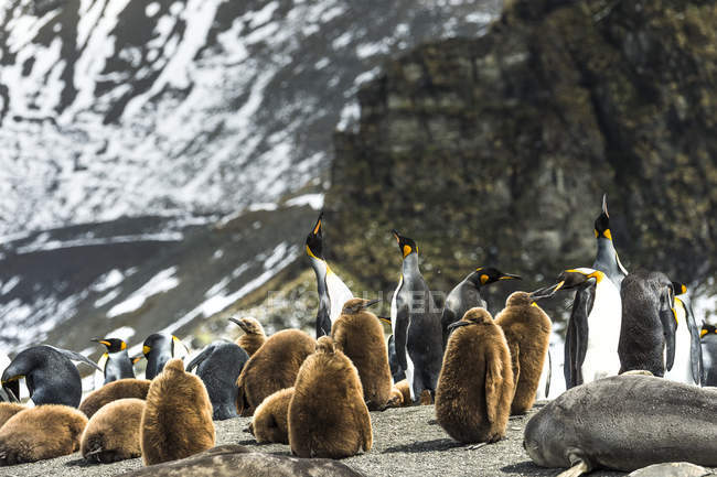 King penguins and juveniles — Stock Photo