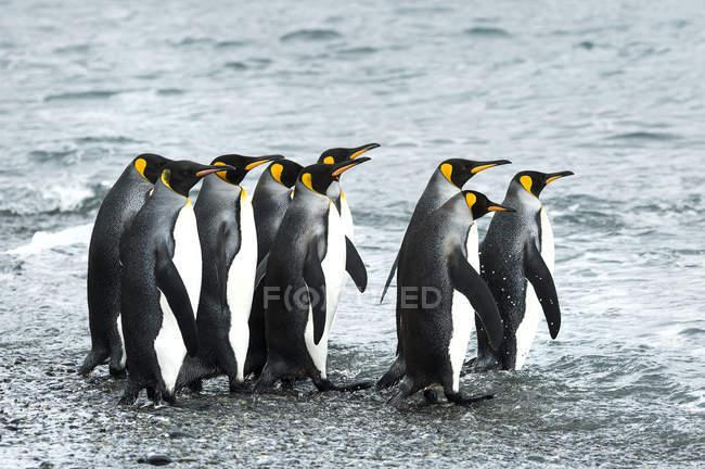 Pingüinos rey de pie en la orilla — Stock Photo