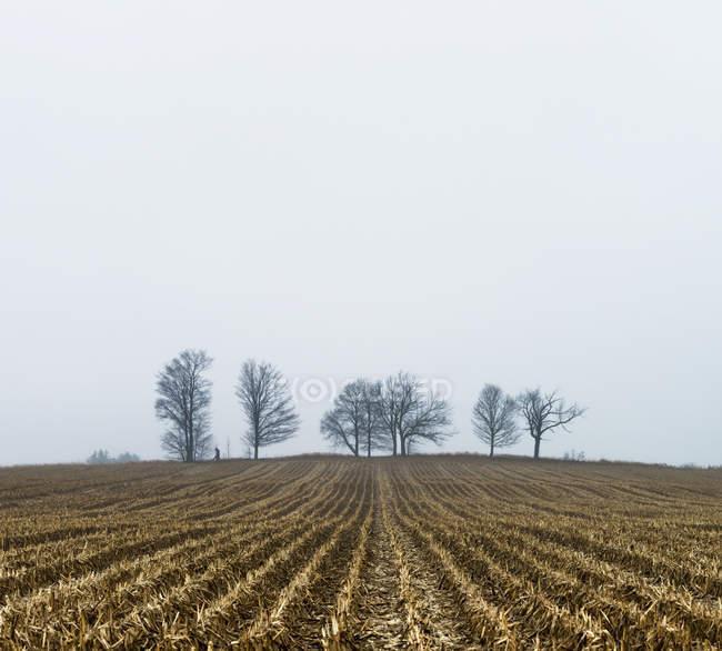 Campo di mais in inverno — Foto stock