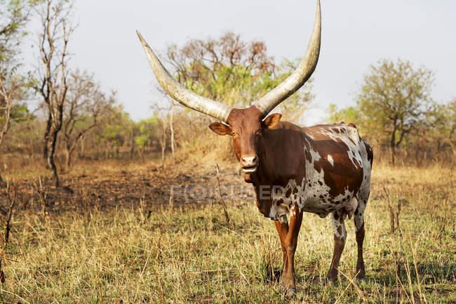Cornes de vache sur le terrain pendant la journée; L'Ouganda — Photo de stock