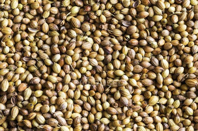 Closeup of coriander seeds heap — Fotografia de Stock