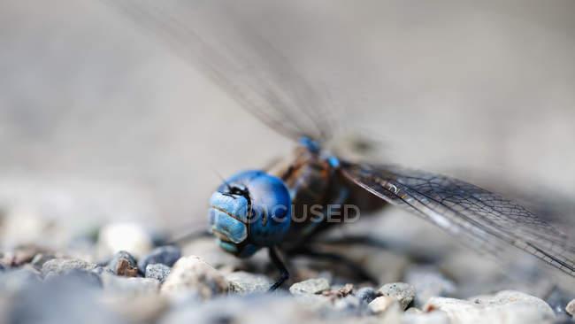 Blaue Libelle auf Schotter; Kenmore, Washington, Vereinigte Staaten von Amerika — Stockfoto