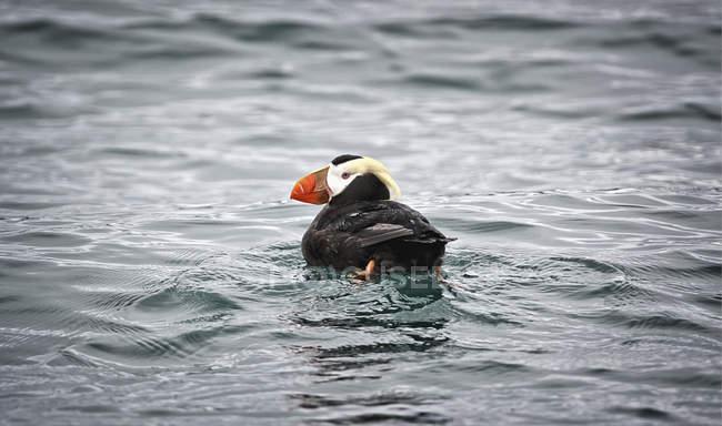Східні puffin плавання у воді, заднього виду — стокове фото