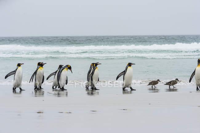 Roi pingouins et canards vapeur — Photo de stock