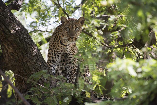 Леопард, глядя из дерева — стоковое фото