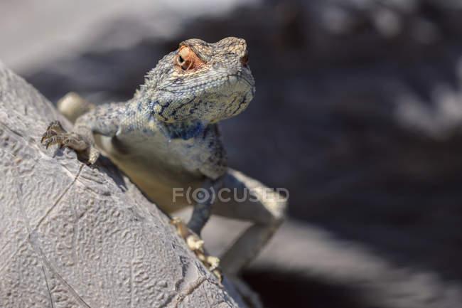 Lizard lookng over rock in desert. Namibia — Stock Photo
