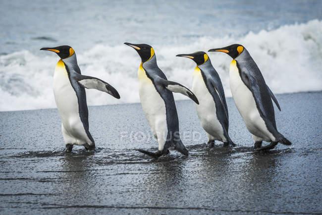 Quattro pinguini re — Foto stock