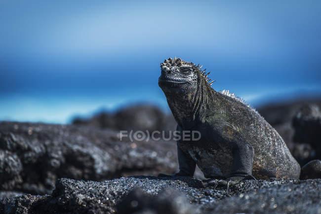 Морська ігуана, сонячні ванни — стокове фото