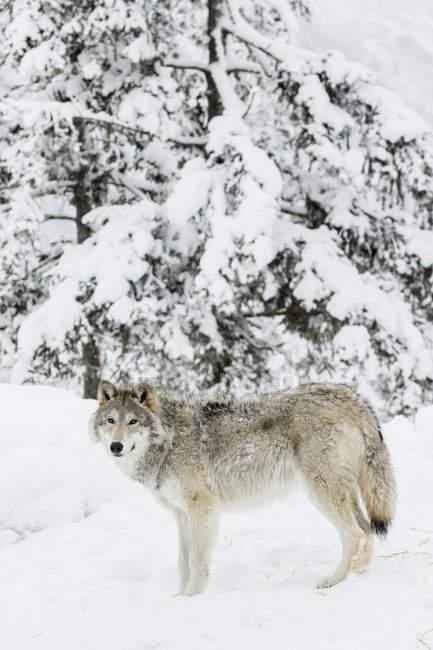 Жіночий вовк стоїть — стокове фото