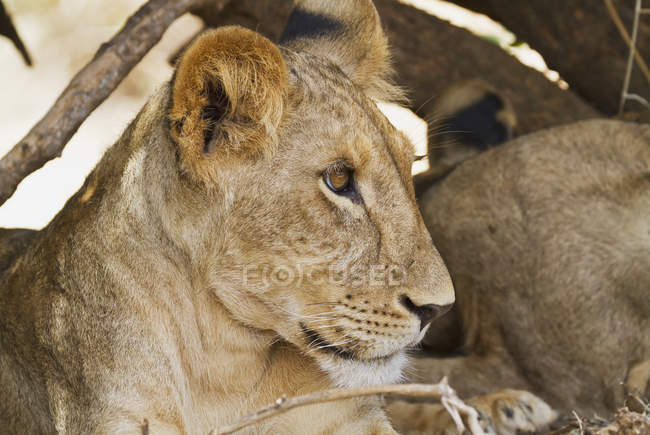 East African lion cub — Stock Photo