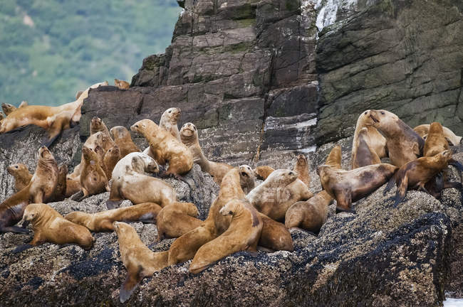 Lobos marinos tendidos en un acantilado rocoso - foto de stock