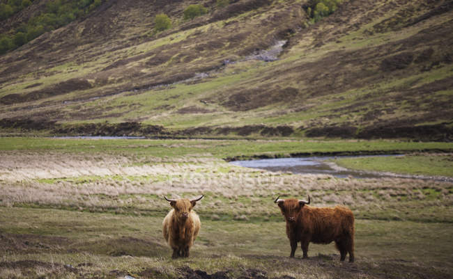 Scottish Highland landscape with long horned Highland cattle in — Stock Photo