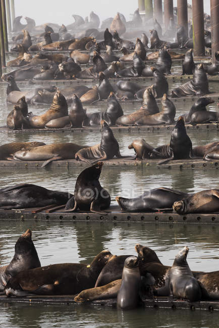 Lions de mer de Californie — Photo de stock