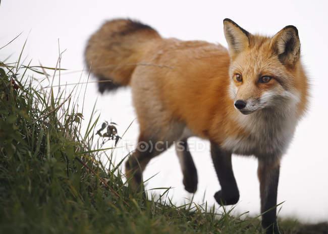 Рыжая лиса — стоковое фото